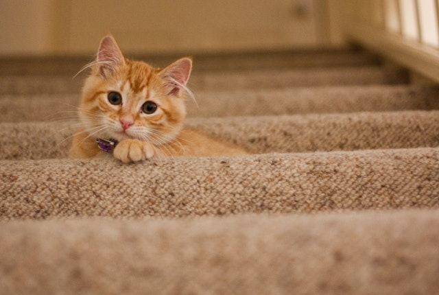 how to protect carpet from pets - Expert Carpet Cleaning